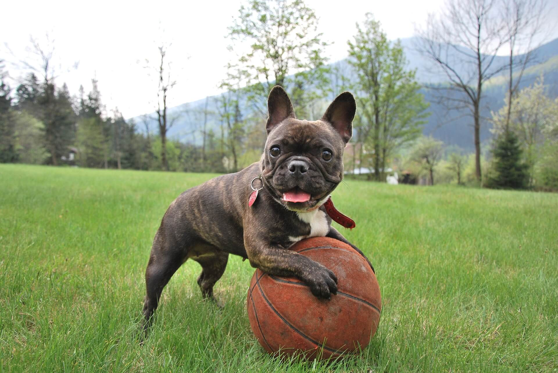 french bulldog playing with the ball