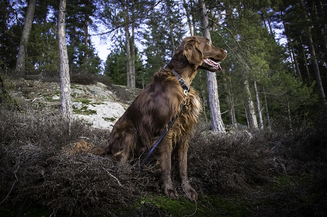 Irish Setter price