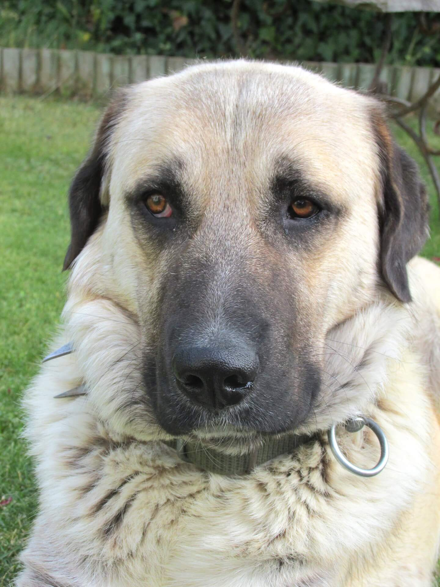 kangal shepherd adult dog