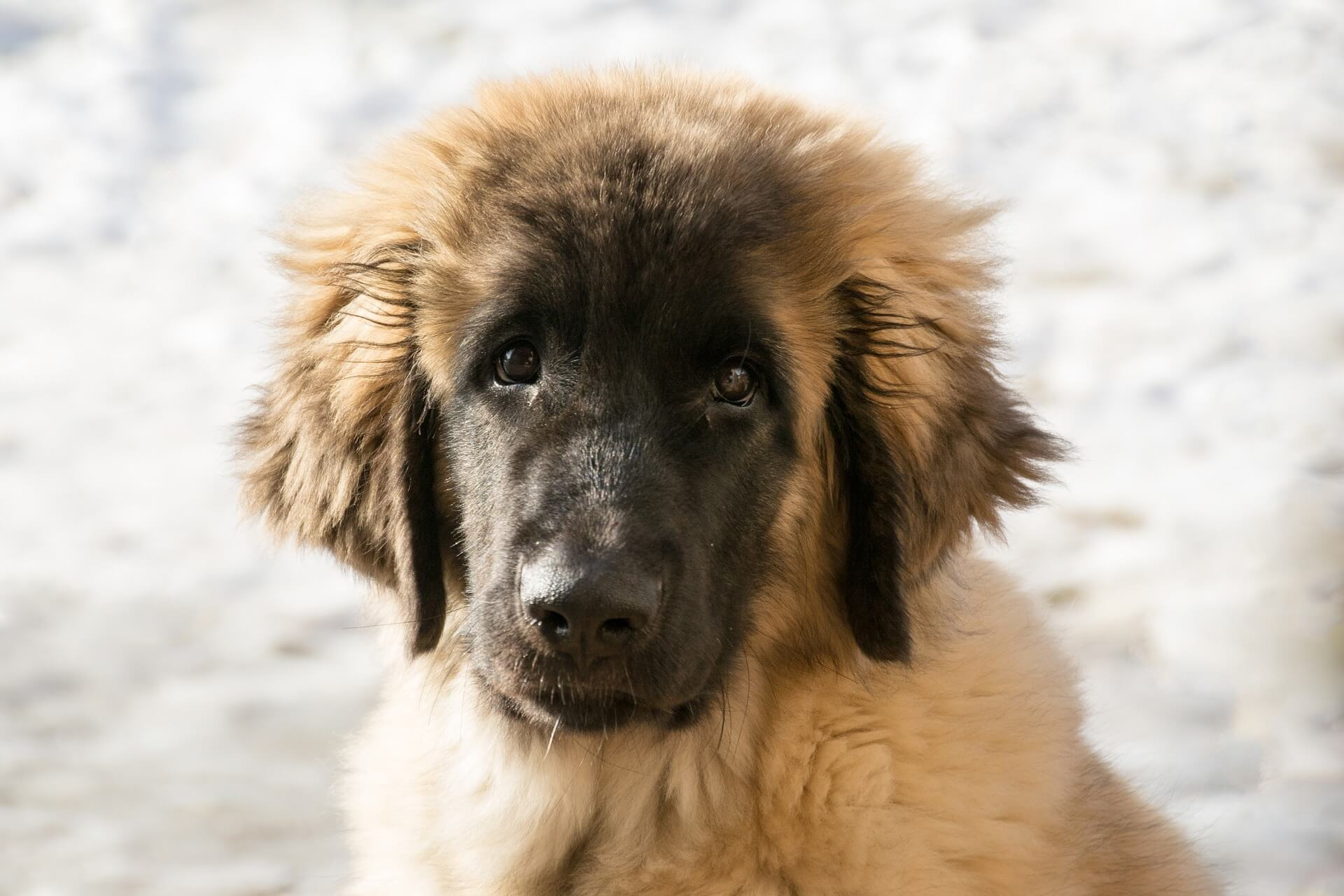 leonberger dog looking
