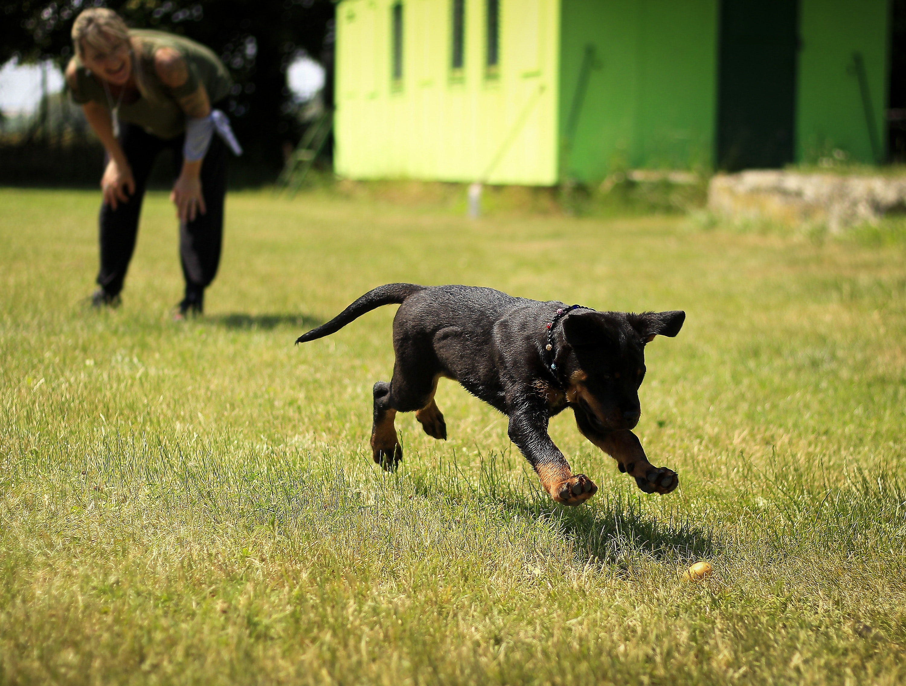 military dog in training