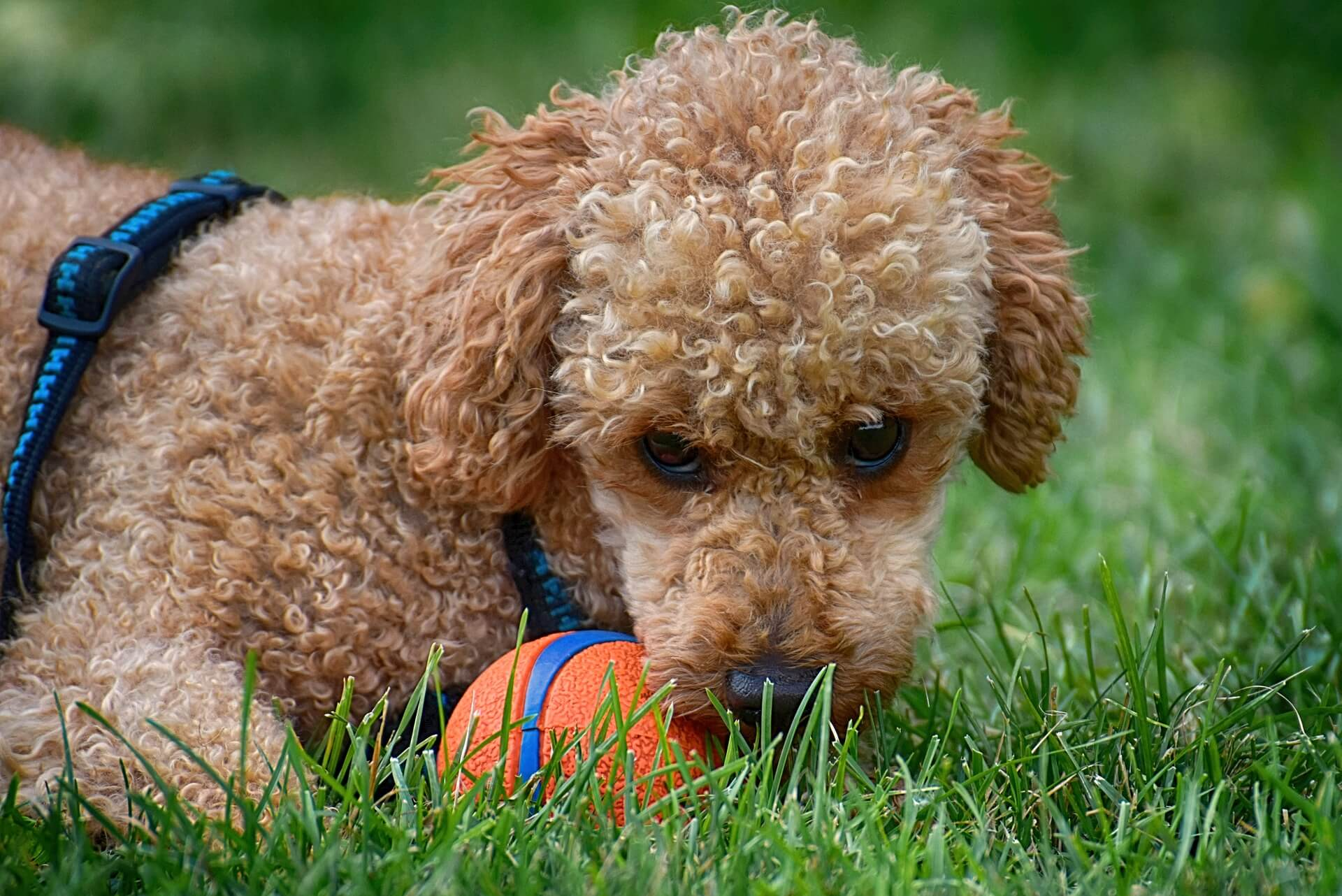 poodle dog with ball