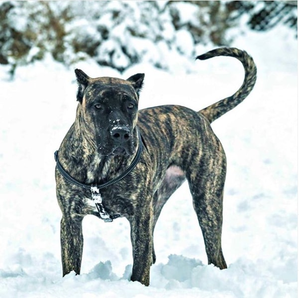 presa canario dog in snow