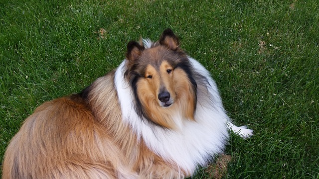 rough collie for sale