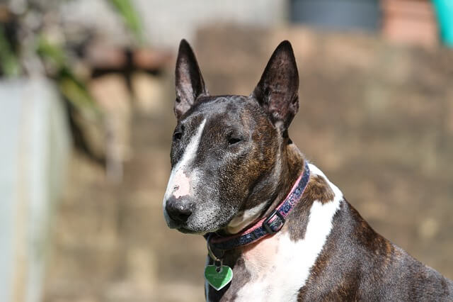 adult miniature bull terrier