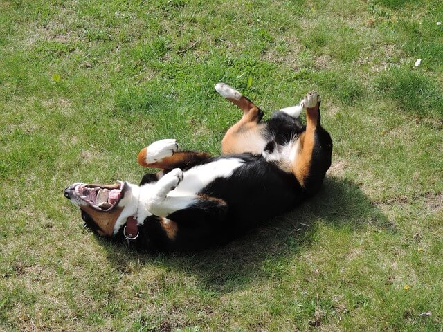 appenzell-mountain-dog rolling