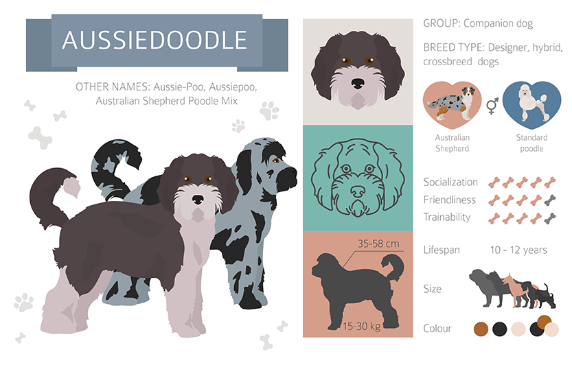 aussiedoodle infographic