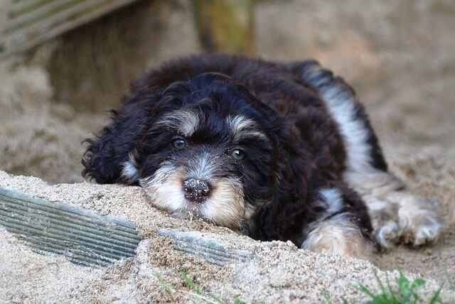 aussiedoodle puppy laying