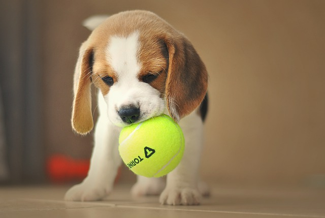 beagle with the ball