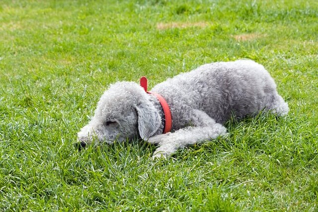 bedlington terrier laying