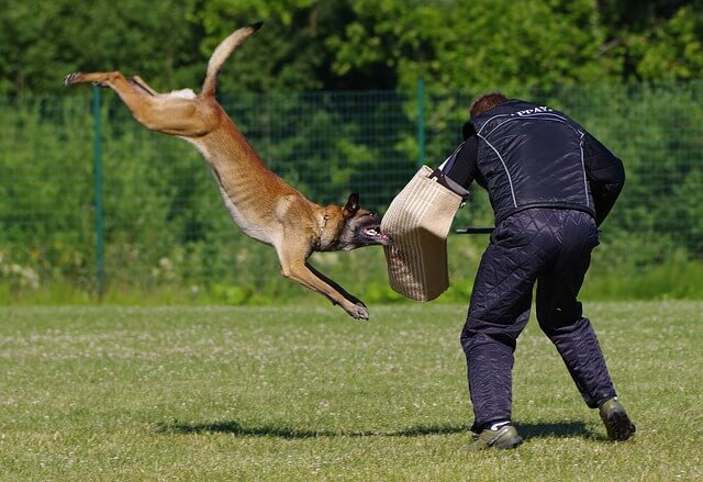 belgian malinois attack training