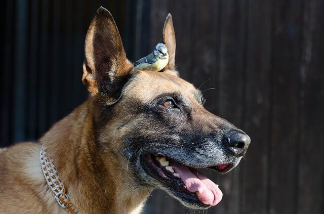 belgian malinois with a bird