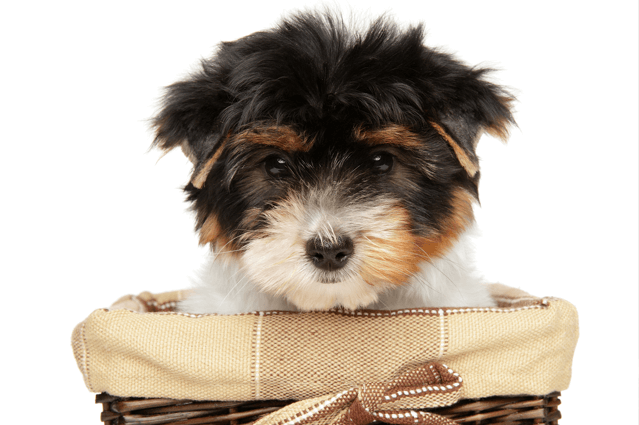 biewer terrier puppy in basket