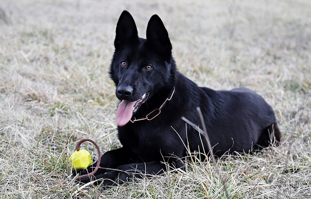 black german shepherd laying with toy