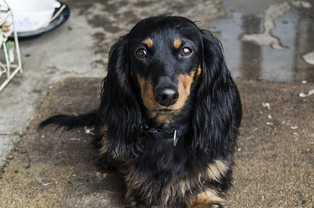 black longhaired dachshund