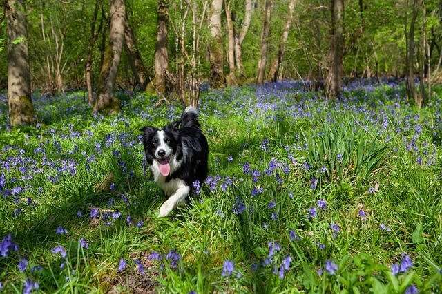 border collie in woods