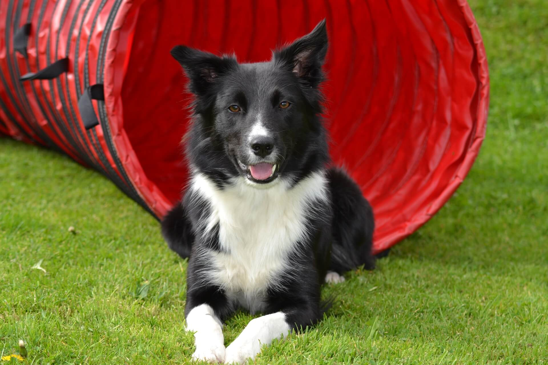 border collie on grass