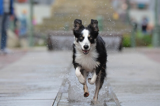 border-collie running