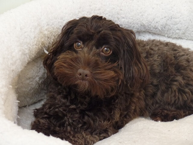 brown cockapoo