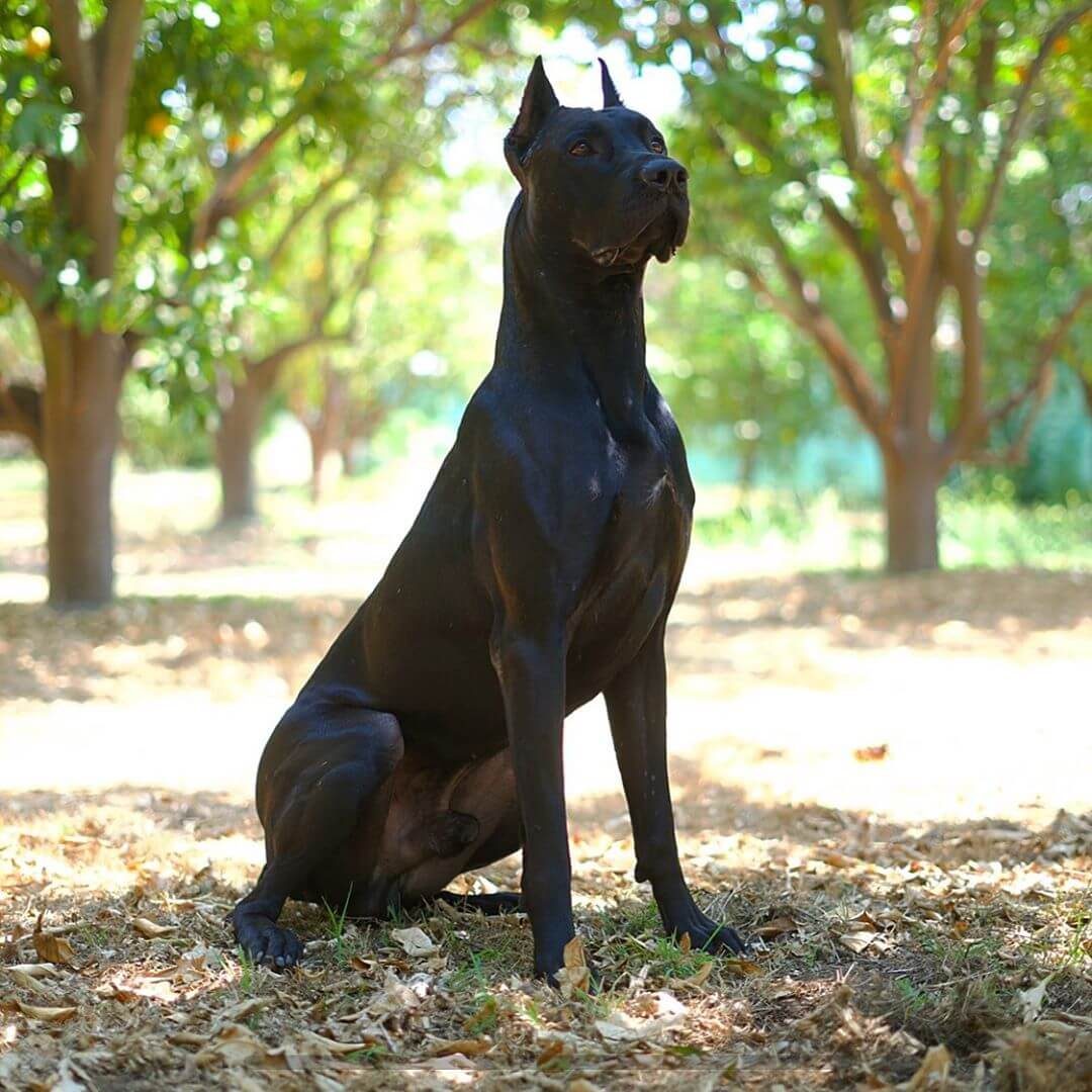 canis panther sitting