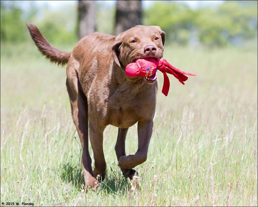 chesapeake bay retriever with toy