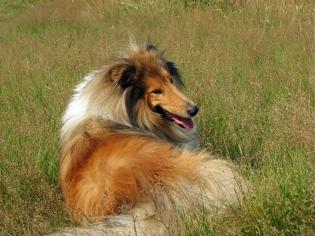 rough collie laying