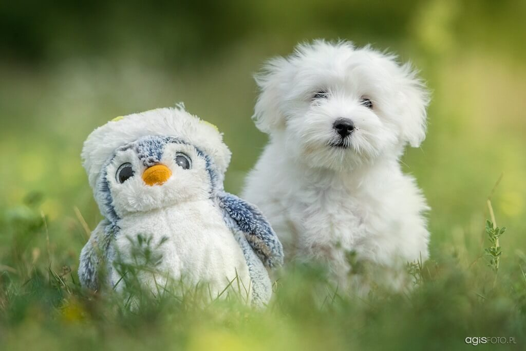 coton de tulear with toy