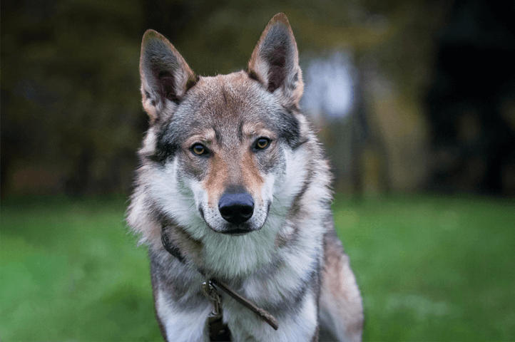 Czechoslovakian Wolfdog looking