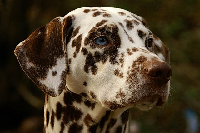 dalmatians blue eyes