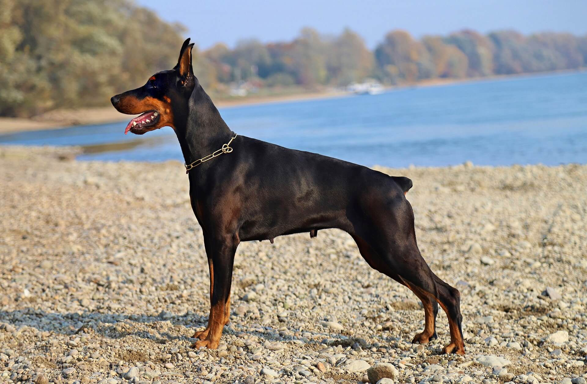 doberman in stance