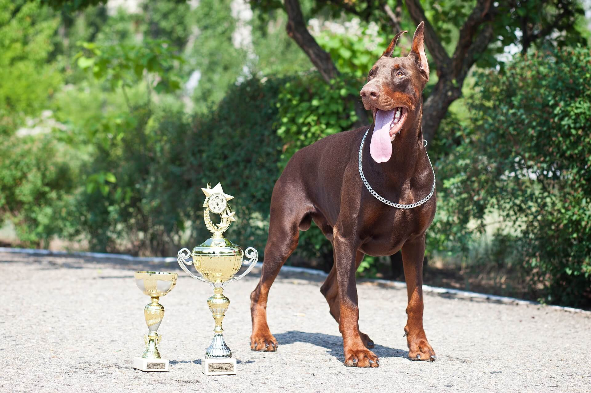 doberman with trophies