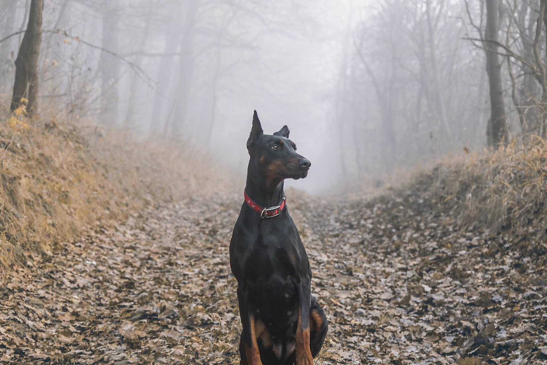 dobie in woods