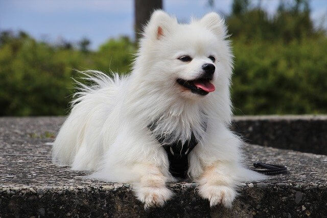 fluffy dog laying down