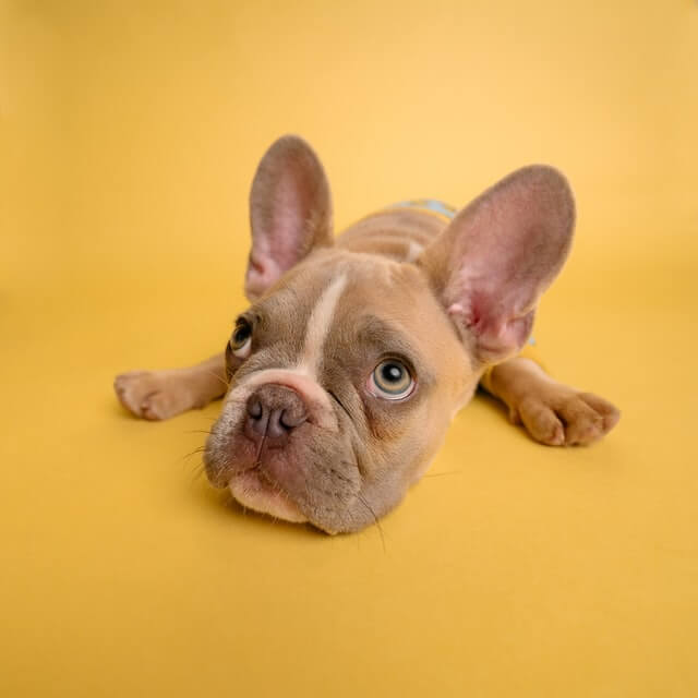 frenchie laying