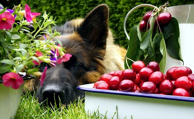 german shepherd and cherries