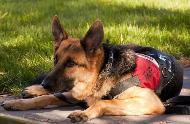 german shepherd service dog