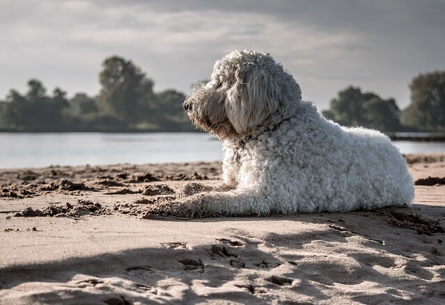 goldendoodle on beach
