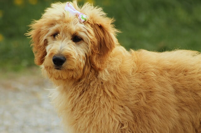 goldendoodle young