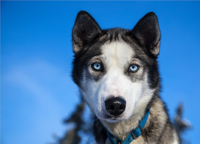 husky blue eyes