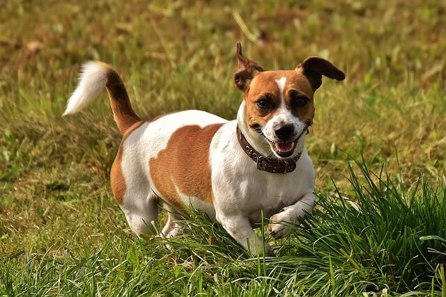 JRT in grass