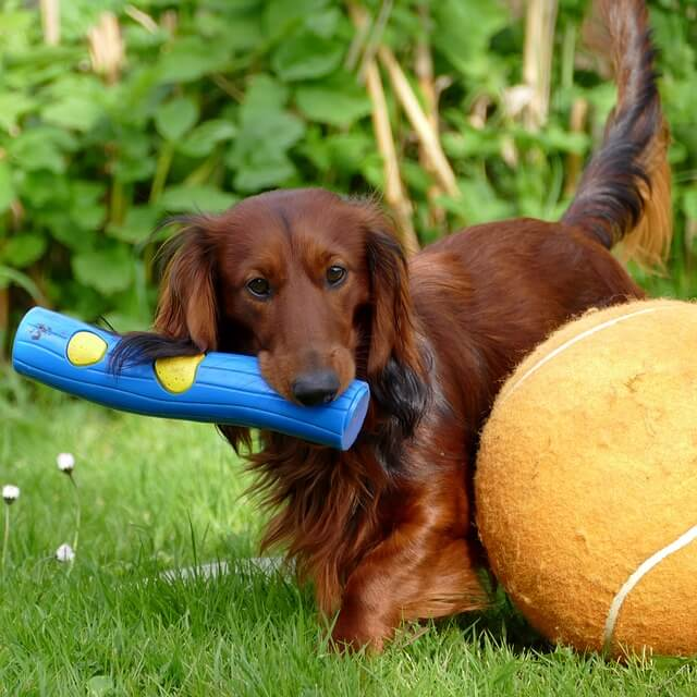 longhaired dachshund playing