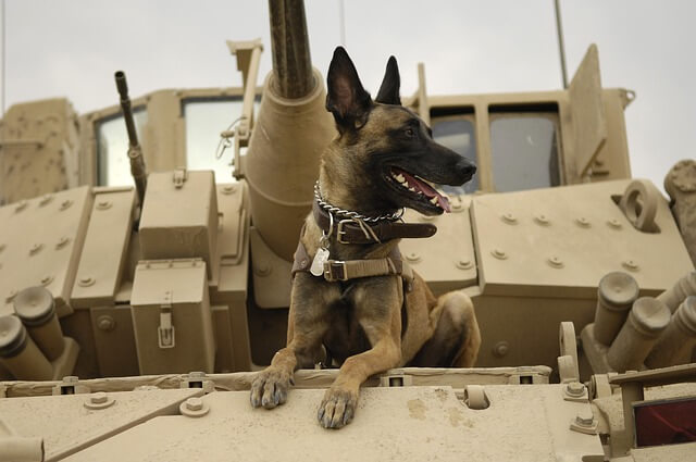 malinois army dog