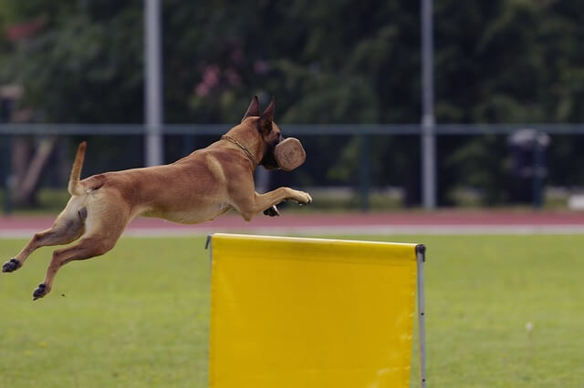 malinois jumping obstacle