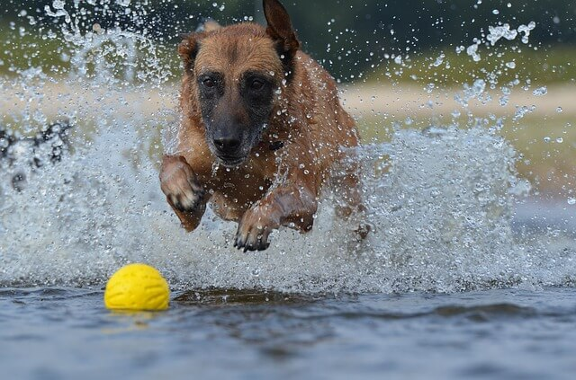 malinois running after a ball in water
