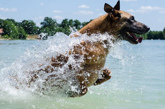 malinois running in water