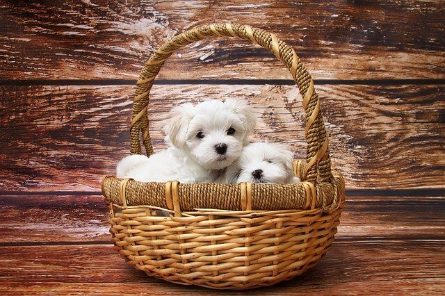 maltese in basket