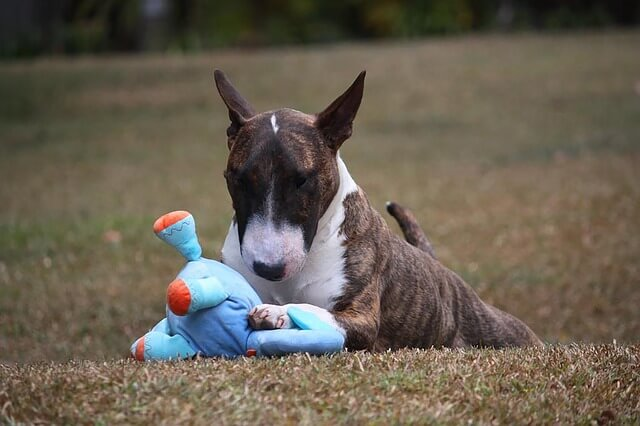 miniature bull terrier with toy