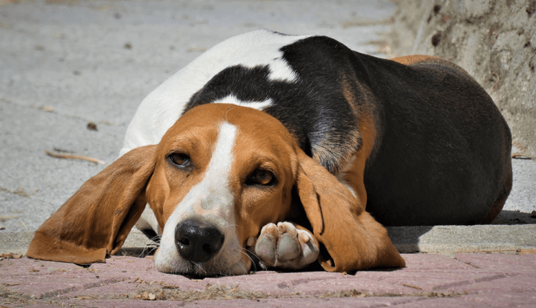 Norman Artesien Basset laying