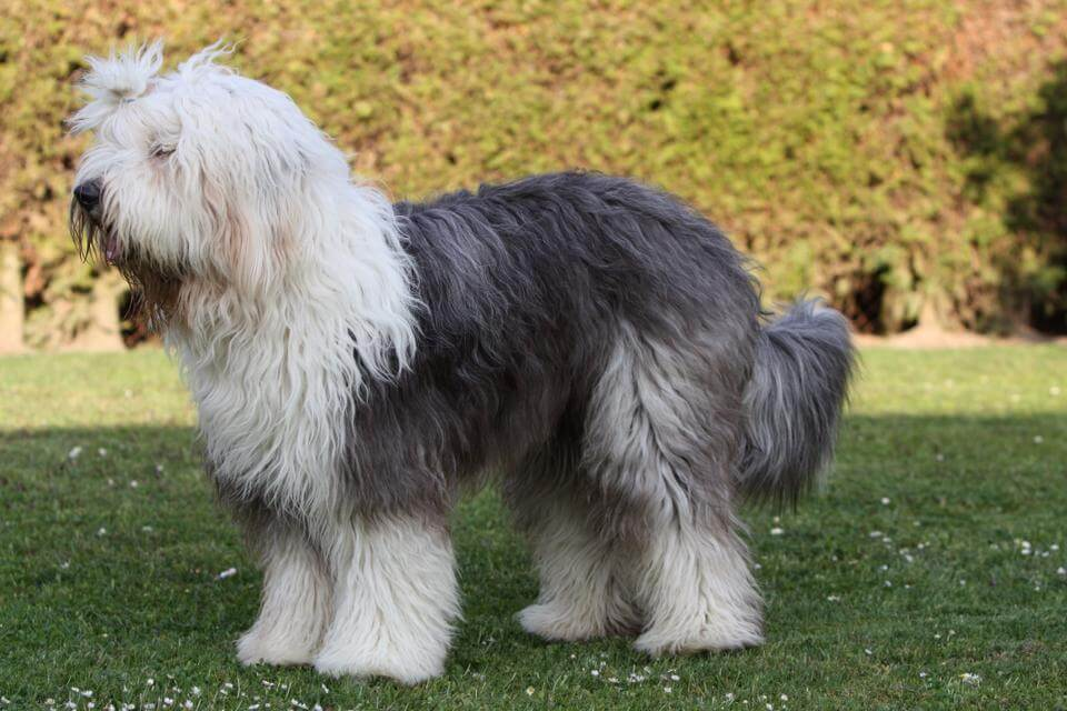 old english sheepdog in stance