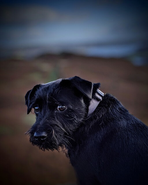 patterdale terrier portrait